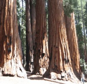 scenic photos of redwoods