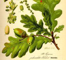 5-Eiche-Illustration-Quercus-robur0-540x493