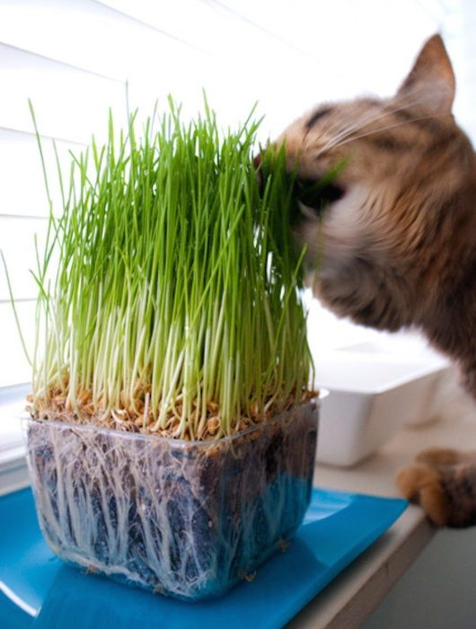 Wheatgrass Seeds 1 Pound Only $9.86!