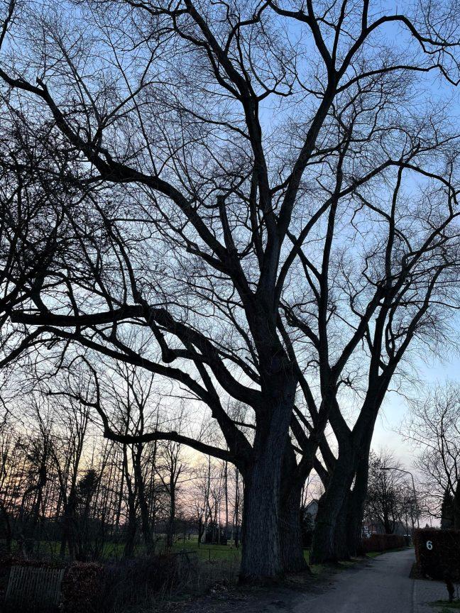 De bedreigde bomen aan de Leeuwerikstraat in Oirschot