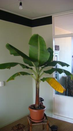 Slechte bladeren bij Musa bananenplant  Groeninfocom