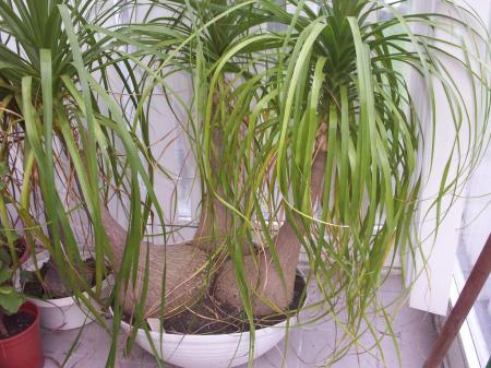 Olifantenpoot Beaucarnea  Groeninfocom tuinforum