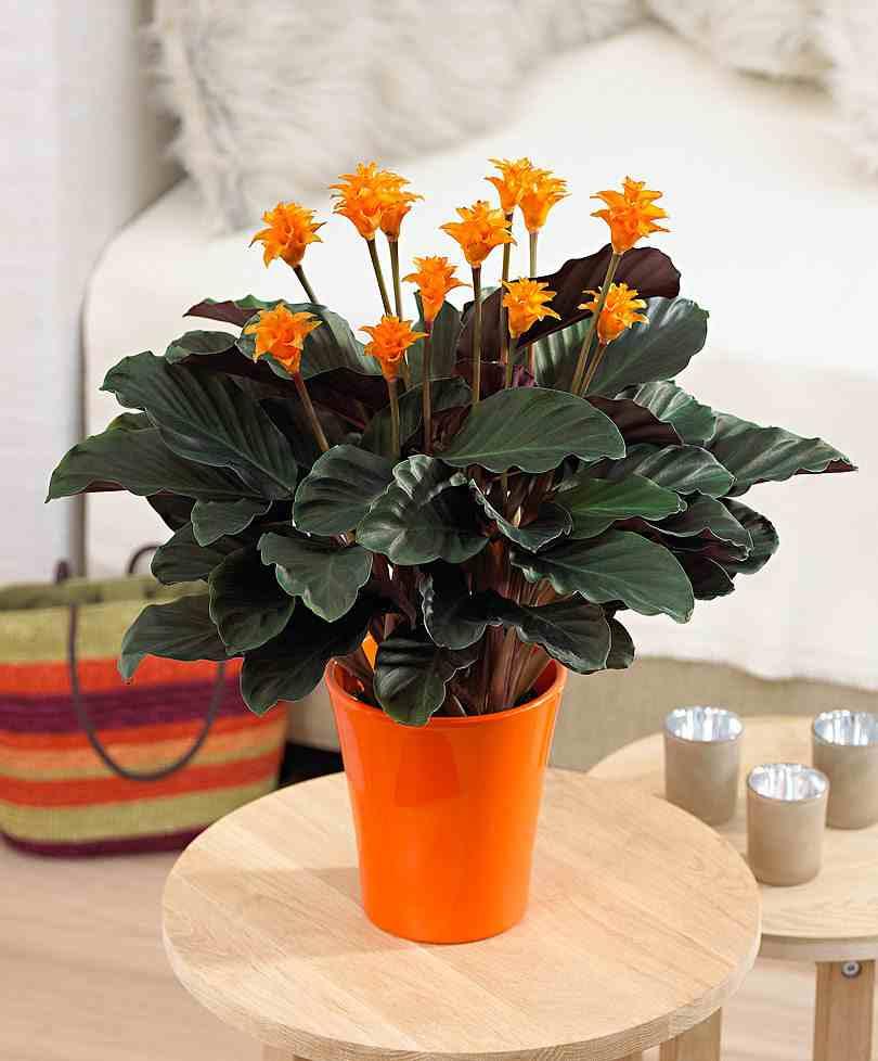 Calathea luchtzuiverend en met opvallend blad  GroenVandaag