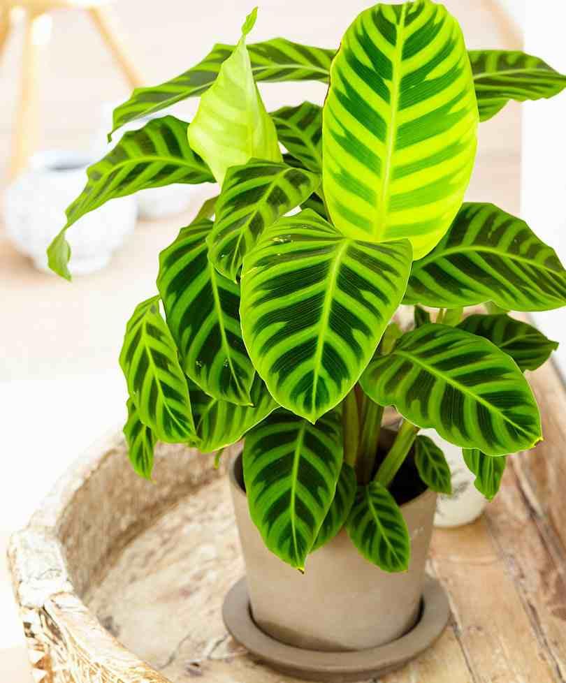 Kamerplanten Calathea
