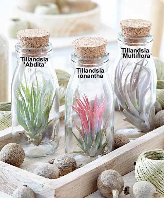 Tillandsia excentrieke plant met luchtig karakter