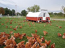 Free Range Chickens At Gro Moore Farm Market Greenhouse