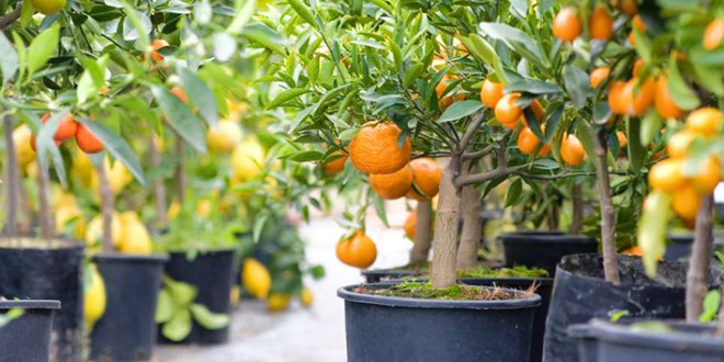 Citrus Trees For Your Home