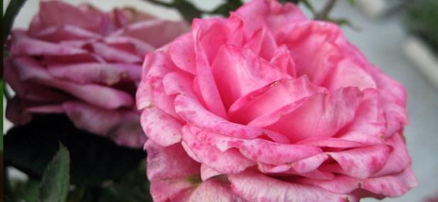 rose variety