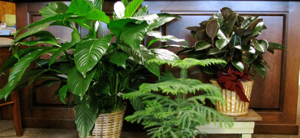 healthy potted plants