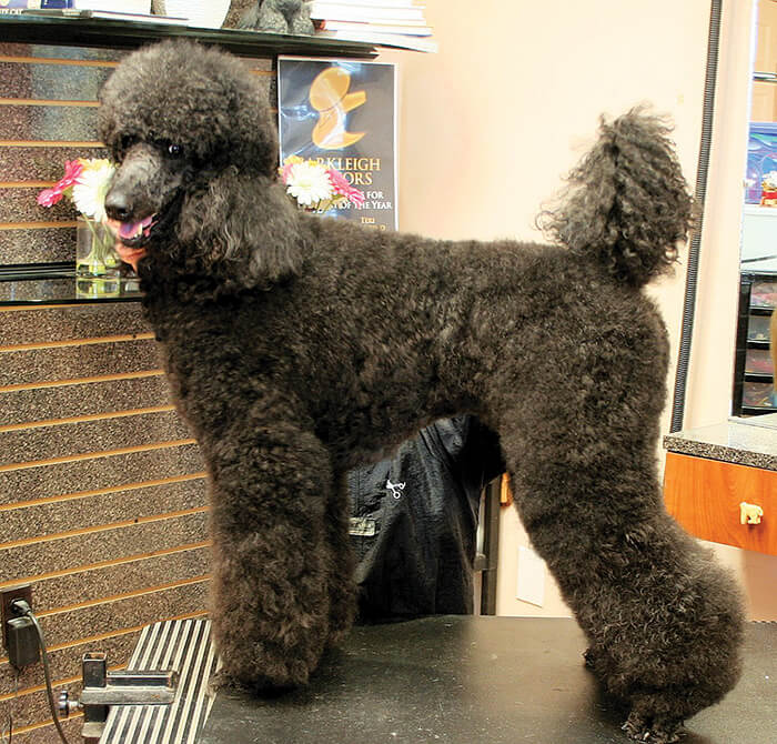 Standard Poodle In A Dutch Groomer To Groomer Pet