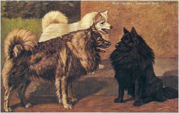 ,,Nemecke psy,, zväzok I. 1904 / 1905 od Richard Strebel  (z knihy ,,Spitze sind Spitze!,, od Hartwig Drossard) from page http://www.grossspitz.at/spitze_rasa_sk.htm