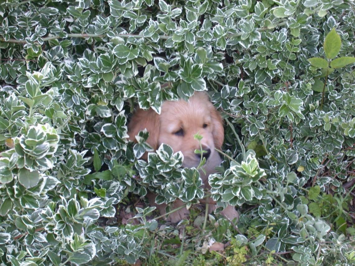 valp i en buske