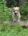 En hund som hoppar över stock i skogen.