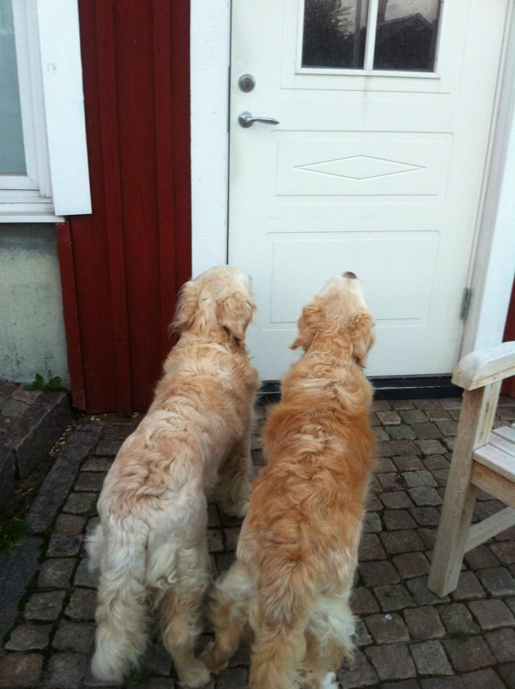 två hundar väntar utanför dörren