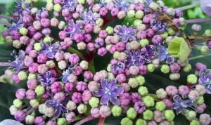 Hydrangea cu 300x178 Best Flowers To Plant In Spring
