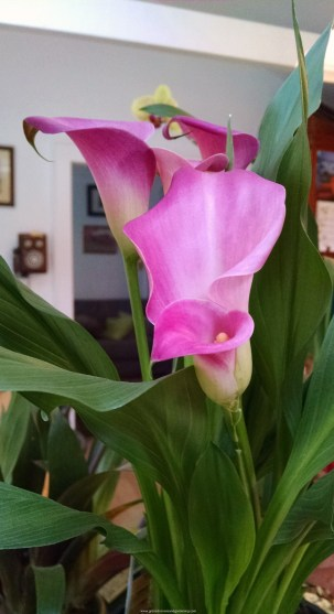 Pink Calla Lily 557x1024 Best Flowers To Plant In Spring
