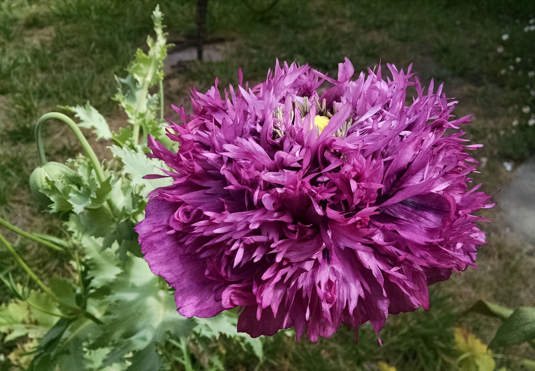 Sun loving annuals that make your heart sing voluptuous peony poppy izmirmasajfo