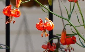 red lilies cu 300x184 Blowing About In Coastal Winds