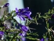 Blue flower 175x133 Ruth Bancrofts Succulent Garden