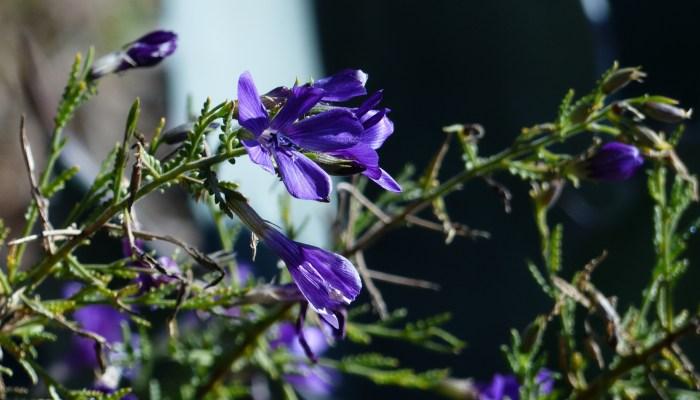 Blue flower 700x400 Ruth Bancrofts Succulent Garden