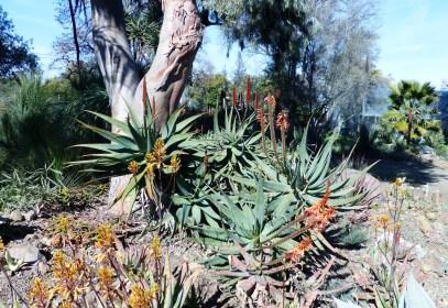 RBG Aloes 1024x706 Ruth Bancrofts Succulent Garden