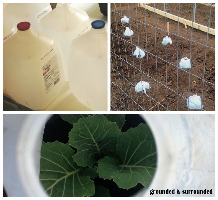 There are so many uses for milk jugs in the garden. My favorite use is to cut the bottom out and use them to protect fragile seedlings right after they are transplanted into the garden. I save milk jugs all year long and save money in my garden. https://www.groundedandsurrounded.com/10-seed-starting-garden-hacks/