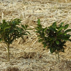 2 year old Camellia sinensis