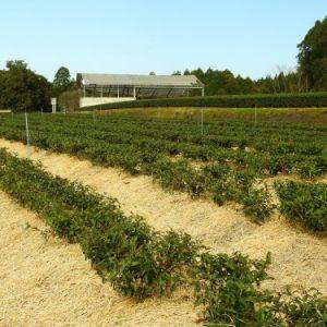 Baby green tea bushes