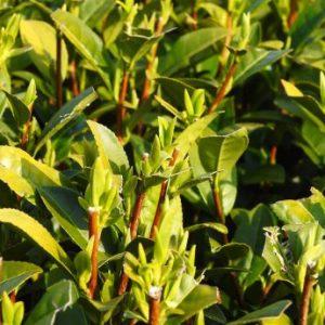 young green tea leaf