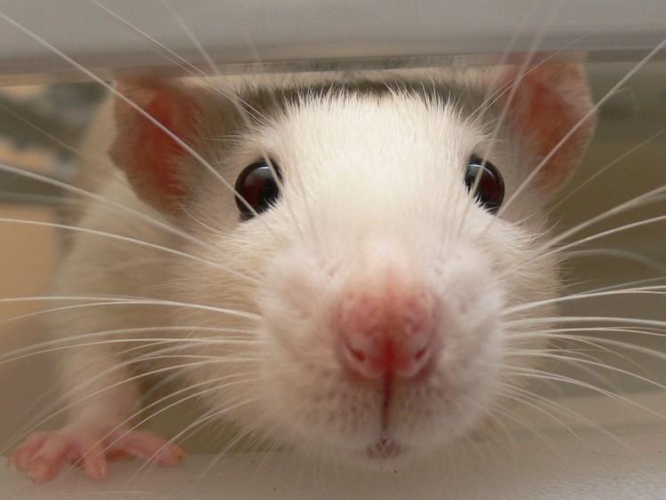 Killing Rats A Clash Of Values Groundup