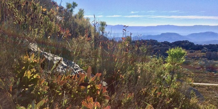 The fynbos region is one of the world's six floral kingdoms and it is under threat from human habitation, climate change and invasive species