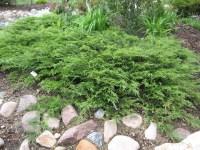 Juniperus Sabina Calgary Carpet - Carpet Ideas