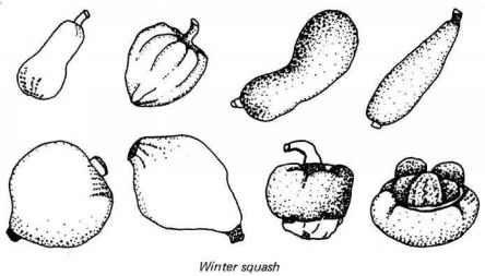 squash drawing Gallery