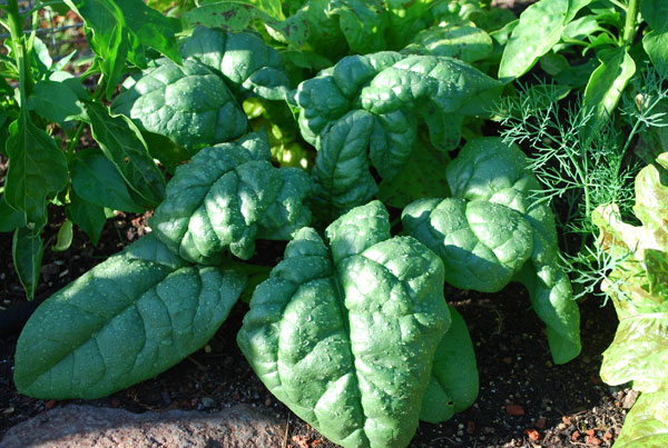 https://i0.wp.com/www.grow-it-organically.com/images/growing-spinach-tyee1-lg.jpg