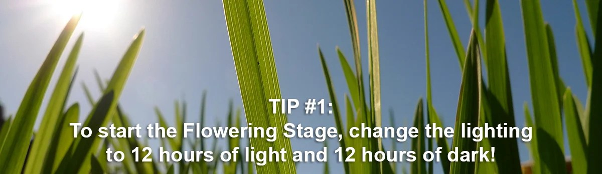 light schedule during flowering stage