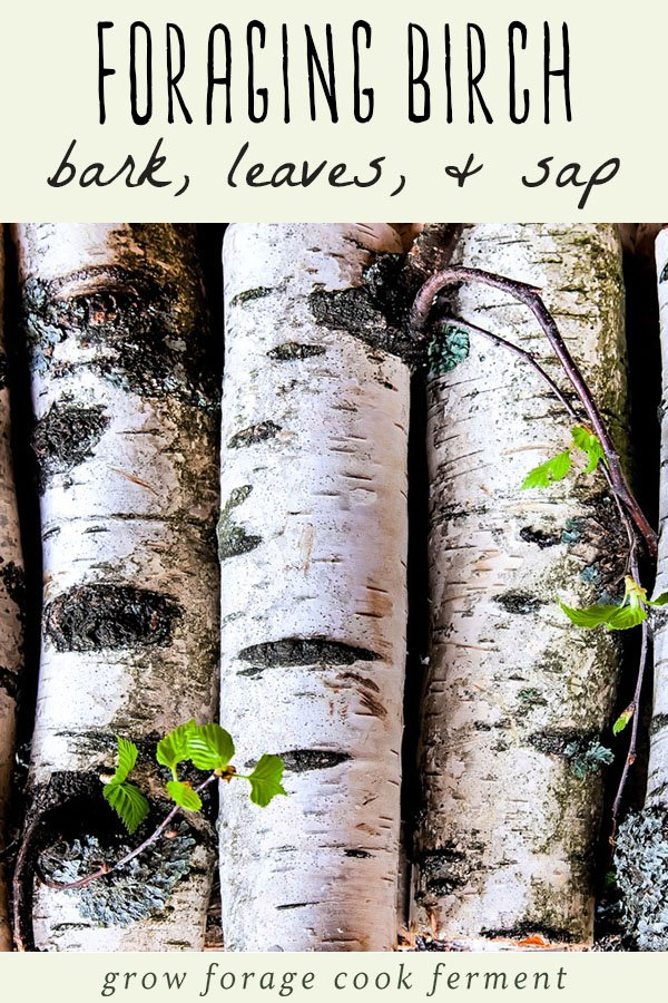 foraging and using birch
