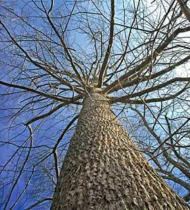 limbing up trees growing