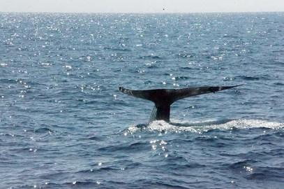 A festive blue whale