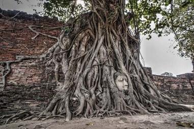 bhoddi tree head1