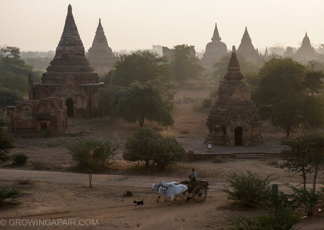 Oxen and cart in the early morning mist in Bagan