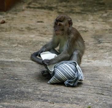 Bako National Park bra thief
