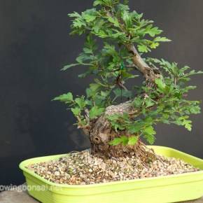 Placed in a shallow tray, the tree will be stimulated to create a wide nebari