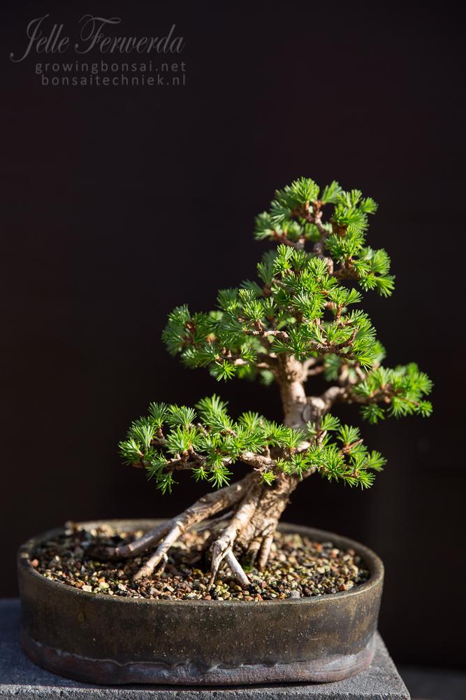 Larch bonsai