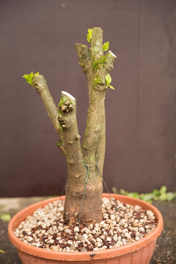 Hibiscus pre-bonsai potted