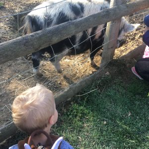 watching the pig
