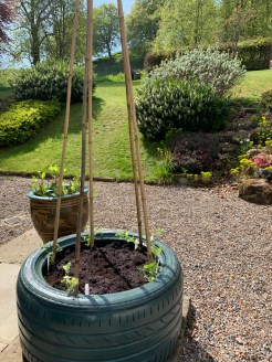 sweetpeas-planted-out