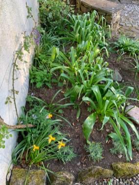 Allium-Spring-Growth