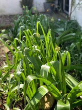 alliums-end-of-april-2019