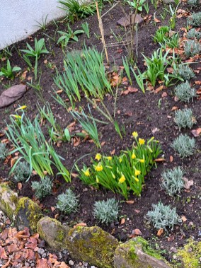 early-daffs-coming-up-spring-2019