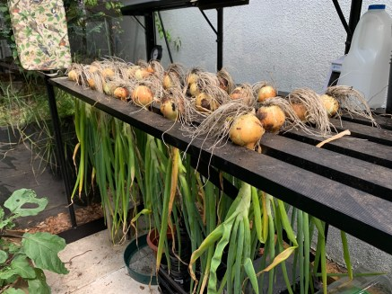 curing-onions